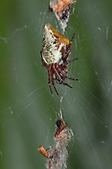 Cylciosa conica. Araneidae. Woods hedgerows and scrub. Spider fixes remains of prey and other items in a vertical line stabilimentum to disguise itself.