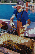 Lobster fisherman unloads lobsters from his boat at Tenants harbor Maine.