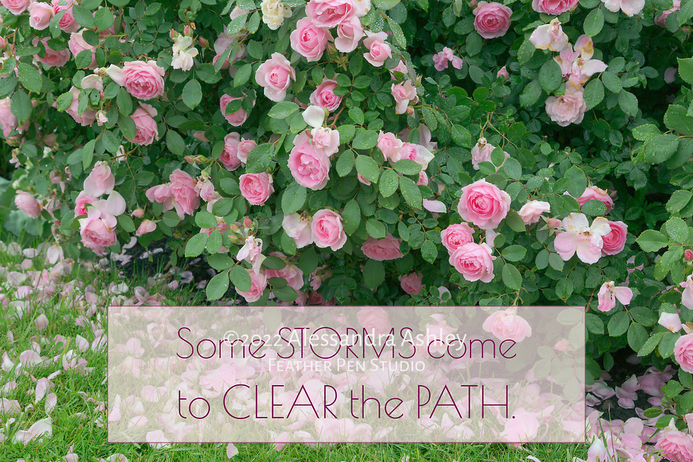 Pink roses photographed in the rain. Paired with affirmation: Some storms come to clear the path.