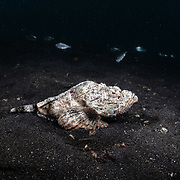 This is a humpbacked scorpionfish (Scorpaenopsis neglecta) sitting on a muddy bottom in shallow water, with a number of Japanese silver-biddy fishes (Gerres equulus) swimming past in the background.