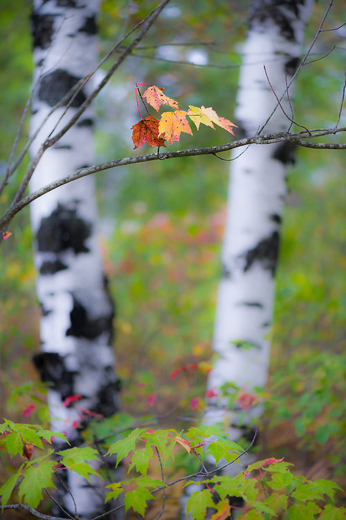 Maple leaves and birch trees, October, middle Michigan, USA