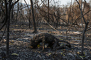A Bugio monkey ( Alouatta ) left carbonized after it was burned to death by a forest fire that swept through the Santa Tereza farm in the Pantanal. The forest fires in the region were so intense that not even the fastest animals were able to escape its flames.<br /> In 2020 the Pantanal faced the largest destruction by burning in its history. From January to October, fires burned 4.200.000 hectares of the Pantanal, which corresponds to 28% of the entire biome, killing a vast amount of the region's wildlife.