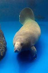African manatee, Trichechus senegalensis, highly endangered (c)