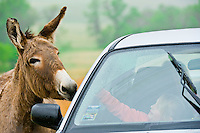 Tourists in cars feed burros, Custer State Park, Black Hills, South Dakota USA