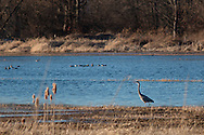 Chester, New York - A heron wades through a wetland on March 19, 2015.