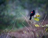 Red-winged Blackbird. Biolab Road, Merritt Island National Wildlife Refuge. Image taken with a Nikon D3s camera and 80-400 mm VR len (ISO 250, 400 mm, f/5.6, 1/30 sec).