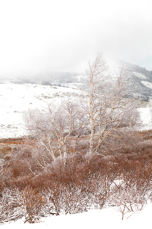 Birch tree (Betulaceae) with frost on the branches and  bushes in the front. In the back some hills in the mist.