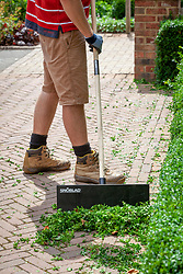 Trimming a box hedge - Buxus sempervirens. Using a shovel to gather up the clippings