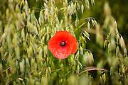 Corn poppy, Papaver rhoeas, in a farmland field of oats in Sibford Ferris, The Cotswolds, Oxfordshire, UK