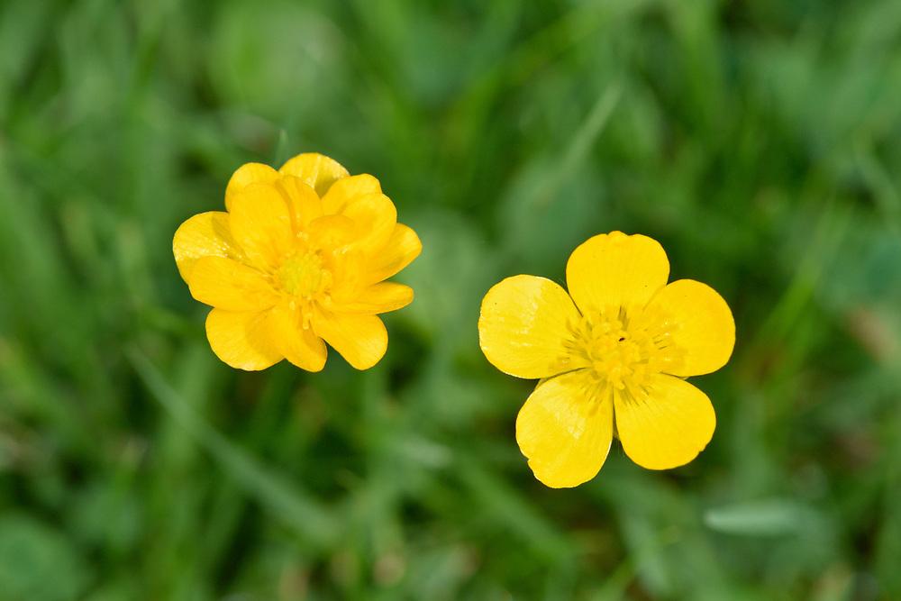 Creeping Buttercup - Ranunculus repens