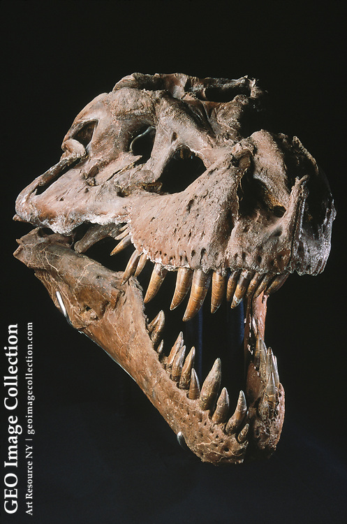 The skull of T- Rex Sue on exhibition at the field museum, Chicago.