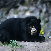 Spectacled Bear inhabits the Andes Mountains in South America. Captive Animal