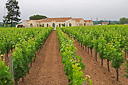 The newly renovated Chateau Petrus seen across its vineyards planted with rows of Merlot vines Pomerol Bordeaux Gironde Aquitaine France