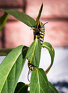 The caterpillar of a monarch butterfly feeds on swamp milkweed in a Manitoba garden