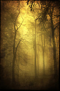Moody forest scenery tinted yellow - textured photograph<br /> Society6 prints & more: https://society6.com/product/veiled-trees_print#s6-863970p4a1v45