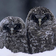 Great Gray Owl, (Strix nebulosa) Chicks in nest almost ready to fledge trying to keep warm in late spring snowstorm. Montana.