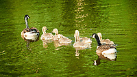 Canada Geese at the Sourland Mountain Preserve. Image taken with a Nikon N1V1 camera and 10-110 mm lens.