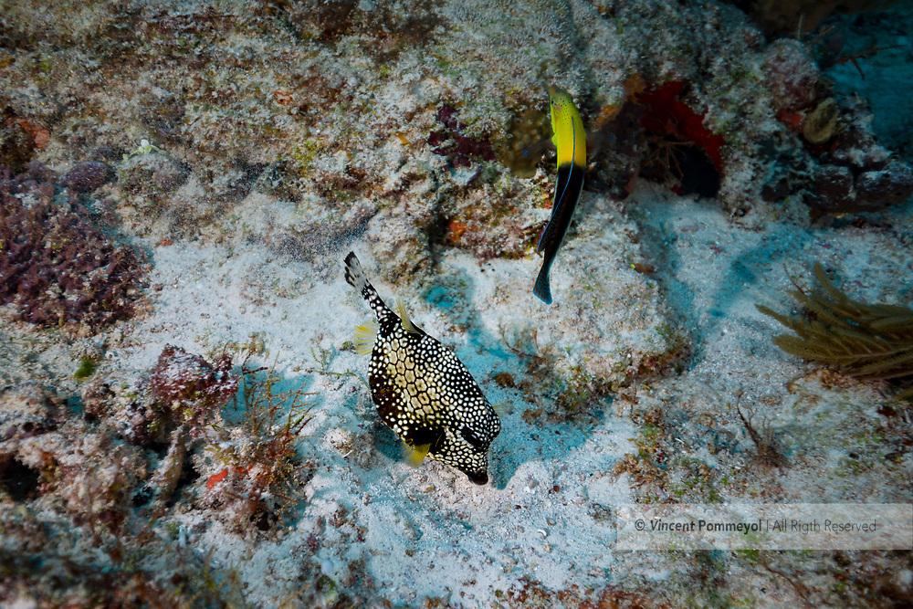 Smooth trunkfish - Coffre baguette (Lactophrys triqueter), Playa del carmen, Yucatan peninsula, Mexico.