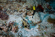 Smooth trunkfish (Lactophrys triqueter