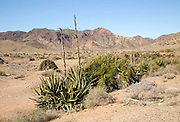 Agave americana cactus plant growing in Cabo de Gata natural park, Almeria, Spain