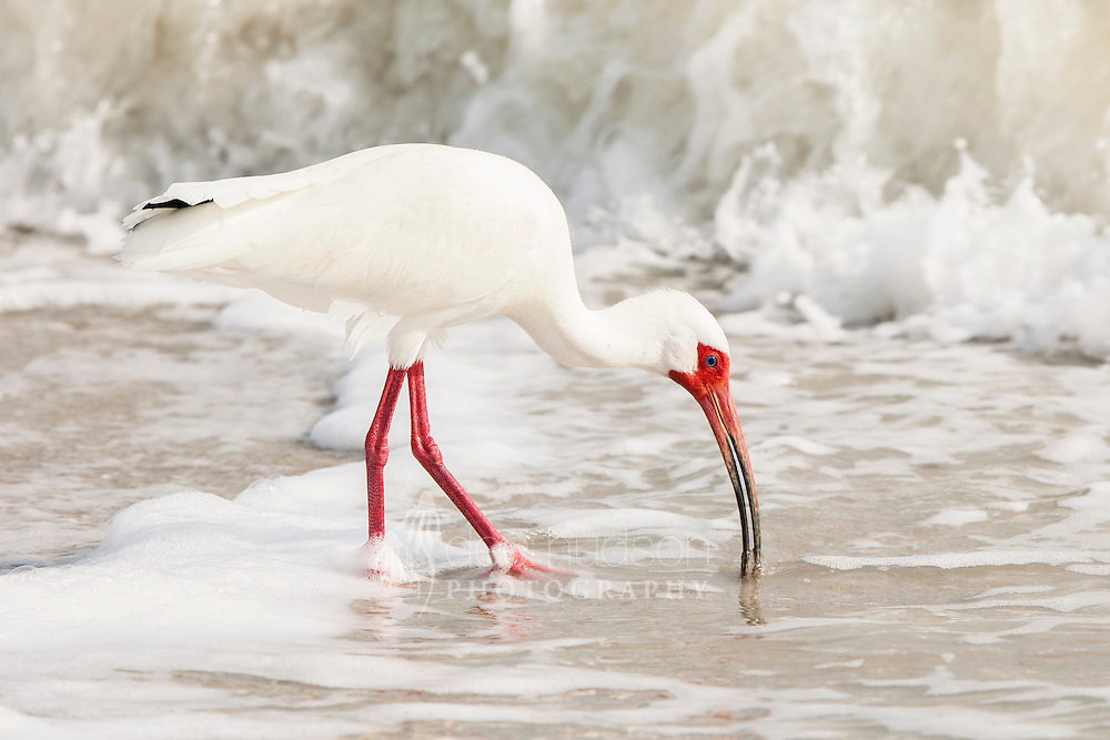 While visiting Sanibel Island, I would often sit on the beach and watch this wading bird probe for its food along the shore. White Ibis (Eudocimus albus)