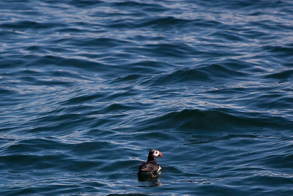 Puffins on Eastern Egg Rock, Maine