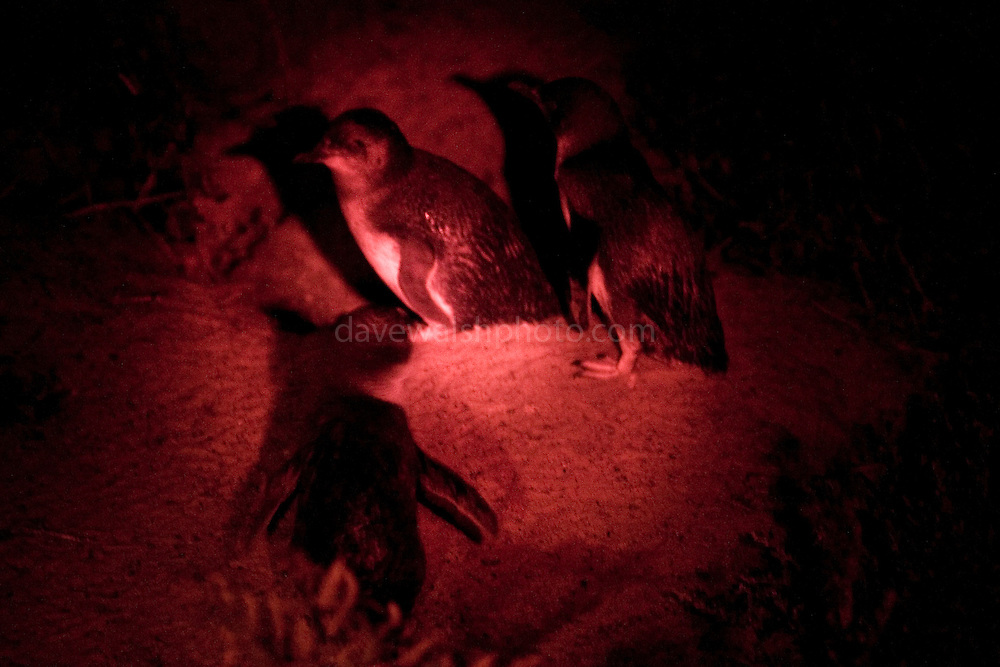 Little, Blue or Fairy Penguins, Bruny Neck, Tasmania. Every night, after dark, the adult penguins come ashore and head for their burrows, where their young are waiting - and making a lot of noise! A ranger is there every evening to supervise the humans. ....At Bruny Island Neck Game Reserve, a wooden walkway has been built so that the visitors don't disturb the sand or any of the penguin or shearwater (muttonbird) burrows.....This photograph was taken with a 70-200mm 2.8 IS L-series lens, with a red covering over a torch so as not to confused the penguins.