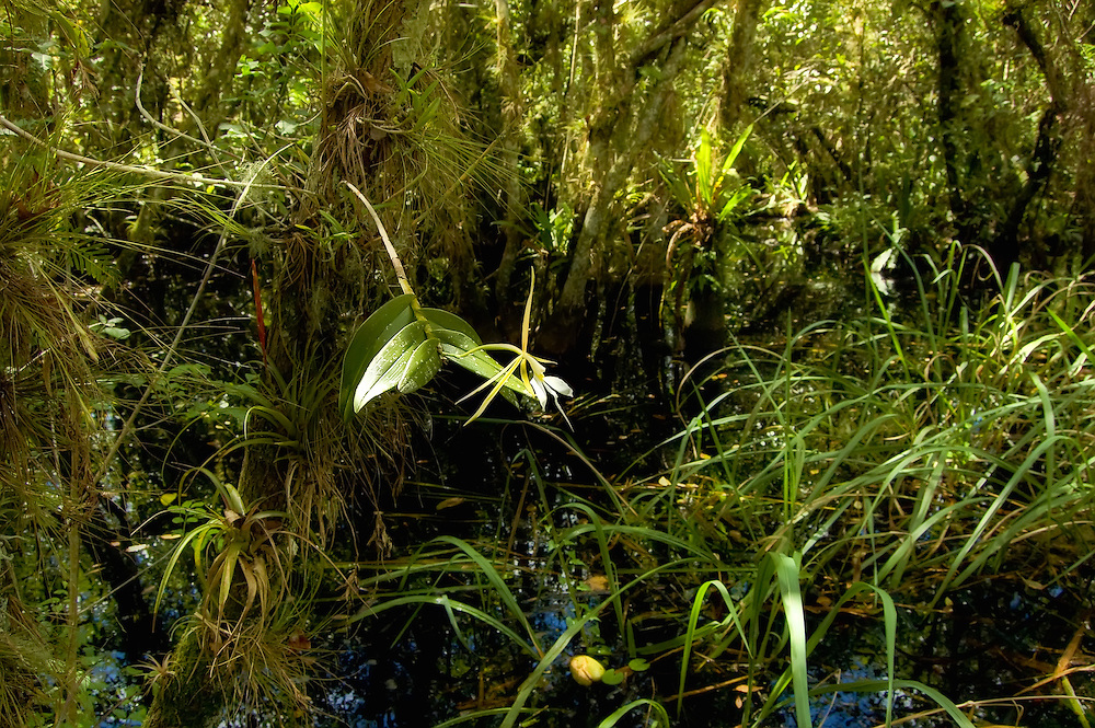 Ideal habitat for the night-fragrant orchid ... thick dark swamp, heavy vegetation, lots of mosquitoes, snakes, and alligators... not to mention the menacing deer flies!