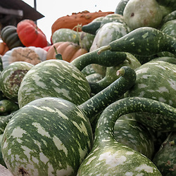Sometimes called a bottle gourd, the dark green speckled gourd is often called a speckled swan.