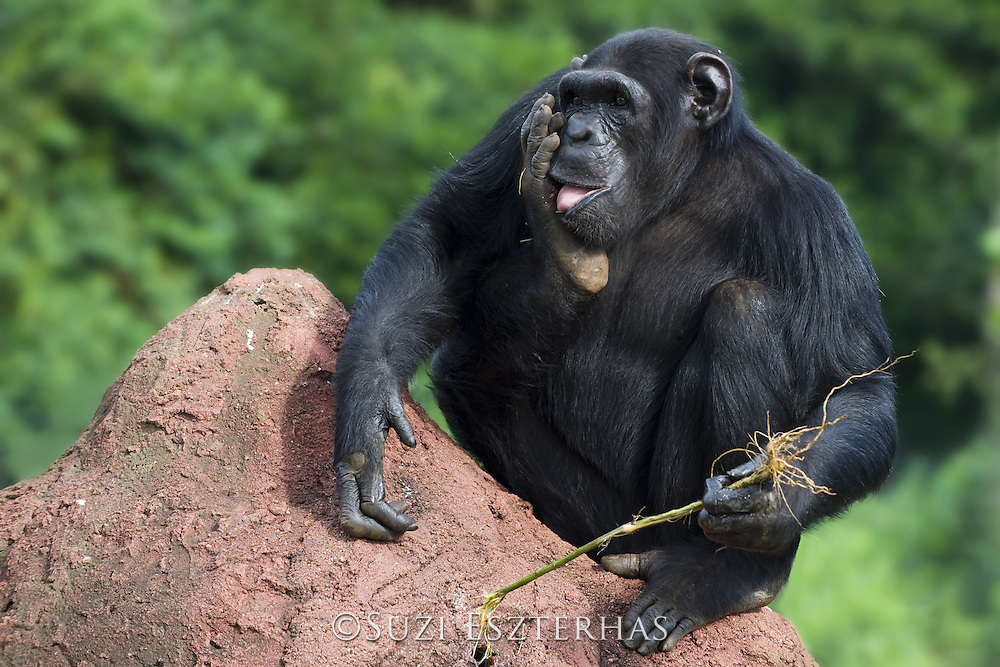 Chimpanzee<br /> Pan troglodytes<br /> Rescued chimps learning how to use twigs as tools to fish honey out of holes in termite mound<br /> Ngamba Island Chimpanzee Sanctuary<br /> *Captive