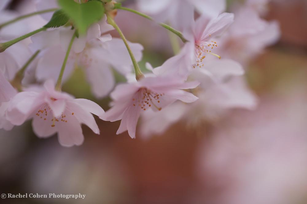 """Windswept Sakura""<br /> <br /> Lovely and delicate Japanese Cherry Blossoms in spring!"