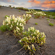 The sun sets over the Sawatch Range in early spring with last years hot rock penstemon branches folded over towards the ground.