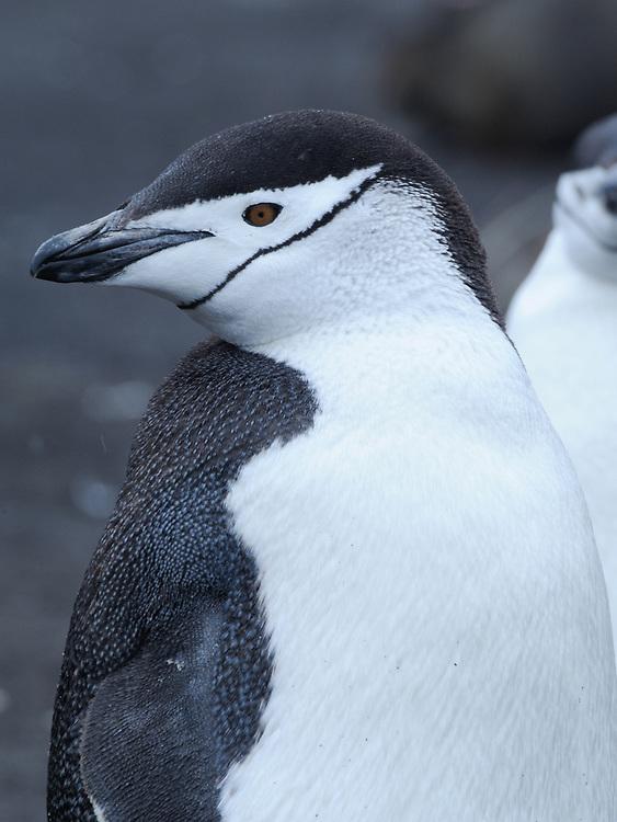 A Chinstrap Penguin (Pygoscelis antarctica). Saunders Island, South Sandwich Islands. South Atlantic Ocean. 25Feb16