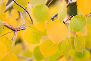 Detail of quaking aspen (Populus tremuloides) leaves in Rocky Mountain National Park, Colorado.