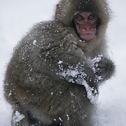 Snow Monkey or Japanese Red-faced Macaque (Macaca fuscata) portrait of a baby playing in the snow. Japan