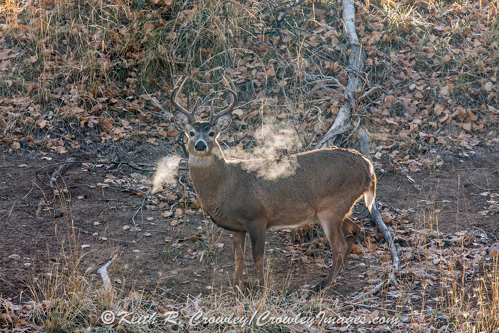 A whitetail buck pauses at a scrape as his breath is back-lit by the rising sun.