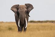 A portrait of a large dominant male elephant (Loxodonta africana) shaking his head in warning ,Amboseli, Kenya, Africa