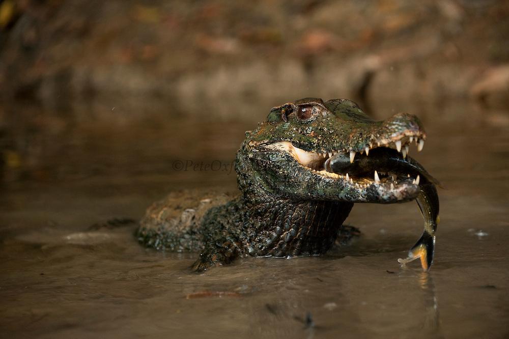 Smooth-fronted or Schneider's Dwarf Caiman (Paleosuchus trigonatus)<br /> Rainforest<br /> Rewa River<br /> GUYANA. South America<br /> RANGE: Amazon Basin of Bolivia, Brazil, Colombia, Ecuador, French Guiana, Guyana, Peru, Suriname and Venezuela.