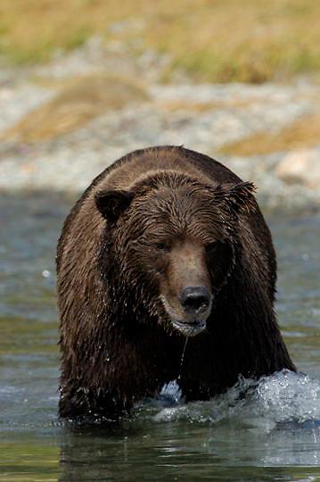 Alaskan Brown Bear (Ursus middendorffi) Adult standing in river fishing for salmon. Katmai National Park. Alaska.
