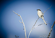 Loggerhead Shrike captured at Maxwell National Wildlife Refuge, New Mexico in May 2019