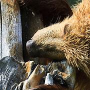 Second season brown bear cubs play fighting in Lake Clark National Park Alaska.