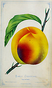 Early Crawford Peach Cultivar from Dewey's Pocket Series ' The nurseryman's pocket specimen book : colored from nature : fruits, flowers, ornamental trees, shrubs, roses, &c by Dewey, D. M. (Dellon Marcus), 1819-1889, publisher; Mason, S.F Published in Rochester, NY by D.M. Dewey in 1872