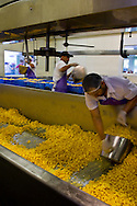 Workers pulling cheese curd out of mixer at the Loleta Cheese Factory, Loleta, California