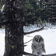 Great Gray Owl, (Strix nebulosa) Portrait of fledged chick on branch. Montana.