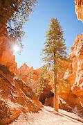 Wall Street, on the Navajo Loop walk, Bryce Canyon National park, UTAH, United States of America
