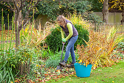 Moving a shrub - hydrangea. Re-planting in a new place in a border