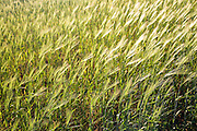 Close up filed of barley, Suffolk, England