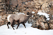 Bighorn sheep, Ovis canadensis,walking on snow in Yellowstone National Park