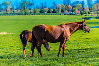 Thoroughbred mare and foal in pasture, Winstar Farm, Versailles (Lexington), Kentucky USA.