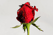 Red rose opening in studio with dew